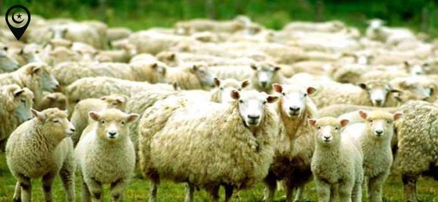 koyunlar